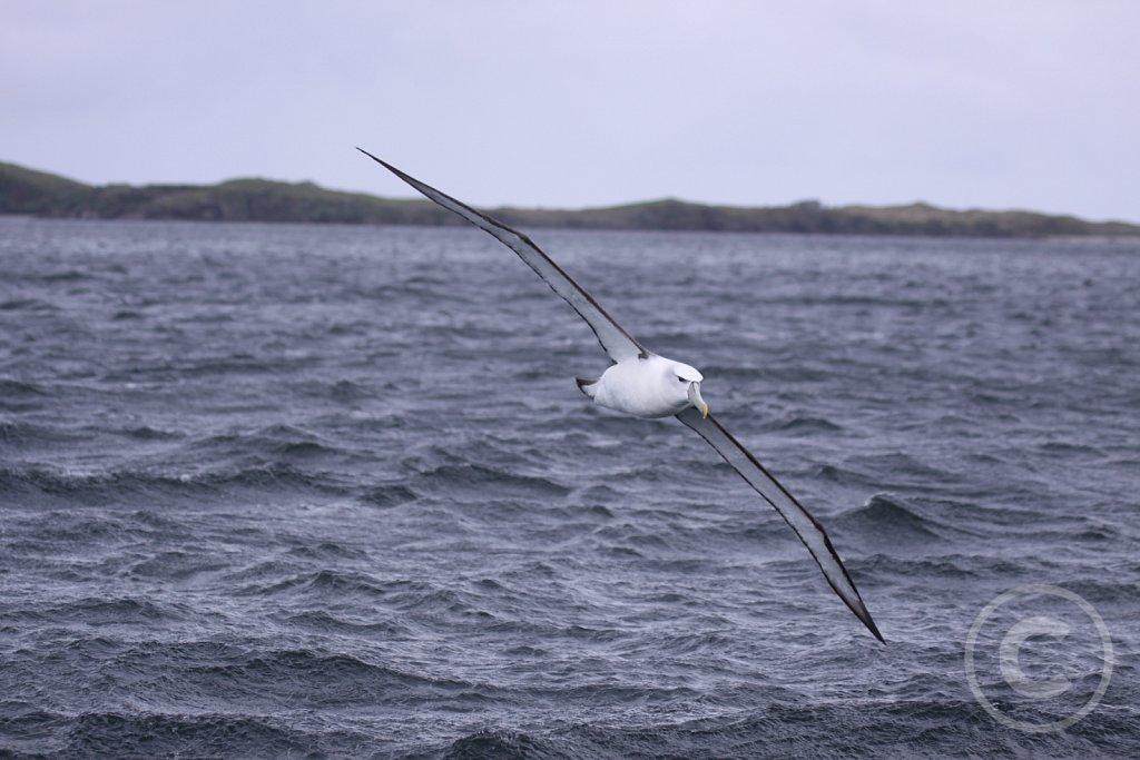Hvidkronet Albatros
